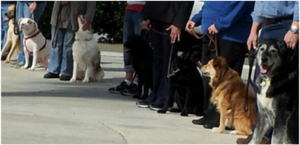 Photo of several dogs sitting at Heel next to handlers during a class